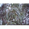 Encalyptus
